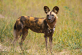 AFRICA/Wild Painted Dogs