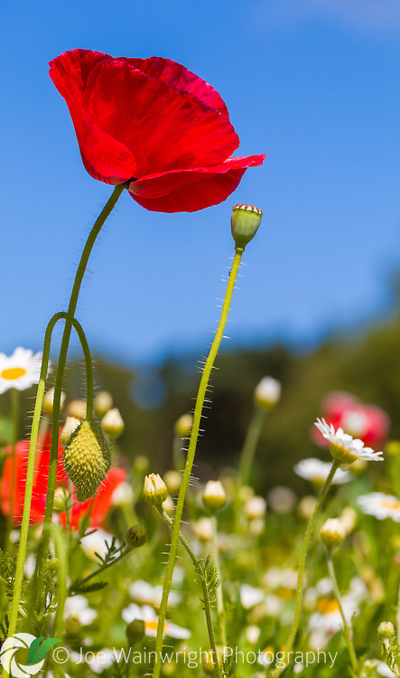 A field poppy set against the blue sky of a June morning