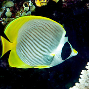 Panda Butterflyfish inhabit reefs. Picture taken Lembeh Straits, Sulawesi, Indonesia.
