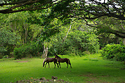 Wild horses, Waipio Valley, Hamakua Coast, Island of Hawaii