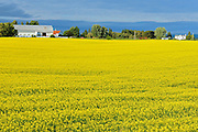 Canola crop in bloom<br /> Jonquiere<br /> Quebec<br /> Canada
