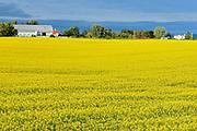 Canola crop in bloom<br /> Jonquiere<br /> Quebec<br /> Canada