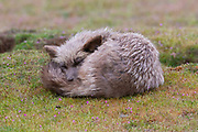 A red fox (Vulpes vulpes) sleeps near a rabbit den in a prairie in the San Juan Island National Historical Park, San Juan Island, Washington. Red foxes were introduced to the island on a number of occasions in the 1900s. All foxes on San Juan Island are red foxes, even if they appear black, silver, gray, tan or other colors.