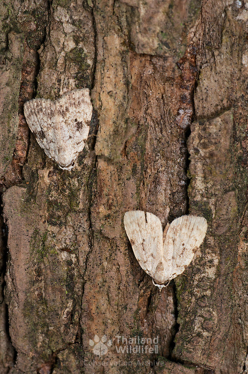 Nolidae sp. moths sitting out the day on a forest tree trunk. Khao Yai National Park.
