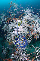 "Black Coral ""Tree"", Tunicates, and Reef Fishes<br /> <br /> shot in Indonesia"
