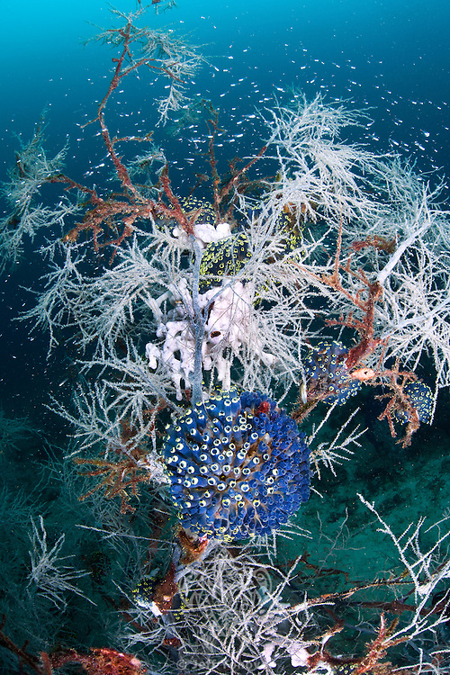Black Coral &quot;Tree&quot;, Tunicates, and Reef Fishes<br /> <br /> shot in Indonesia