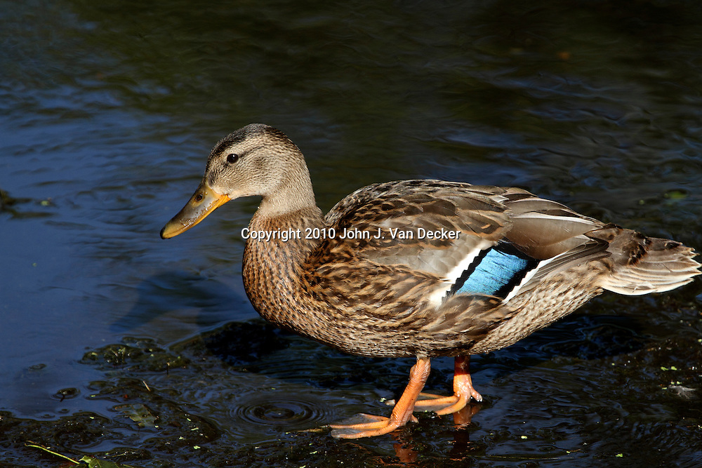 Mallard Duck, Anas platyrhynchos, females standing in a stream