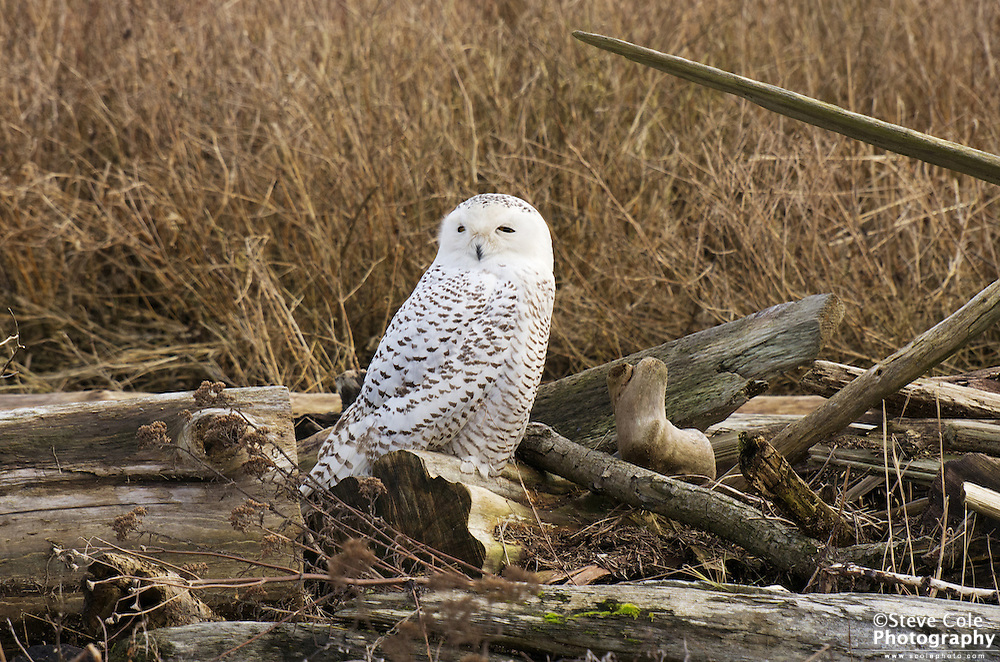 Snowy Owl 01 - Boundary Bay, British Columbia