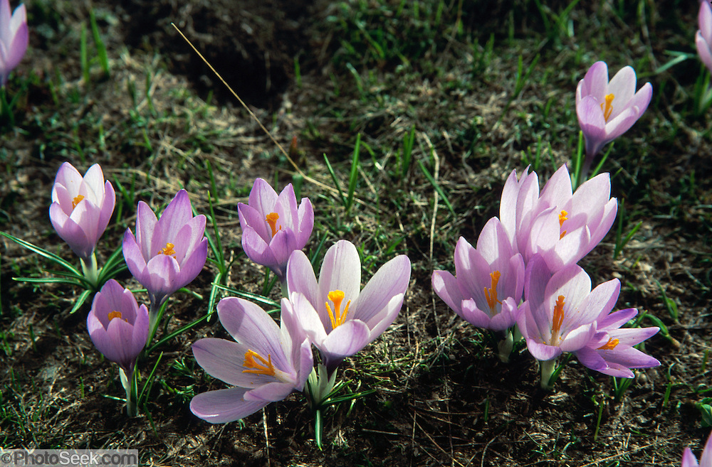 "Wild purple crocus flowers emerge from snow in May in alpine areas of the Tymfi Massif, in the north Pindus Mountains (Pindos or Pindhos), around Zagoria, Epirus/Epiros, Greece, Europe. Zagori (Greek: ) is a region and a municipality in the Pindus mountains in Epirus, in northwestern Greece. Zagori contains 45 villages collectively known as Zagoria (Zagorochoria or Zagorohoria). Published in ""Pindos: The National Park"" (2010) by Alexander G. Tziolas, preface by Tom Dempsey et al, ISBN 978-960-98795-3-8."