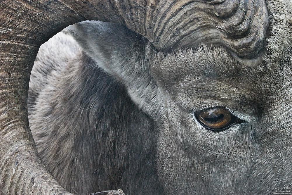 Very close facial photograph of a Bighorn Ram.