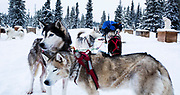 Rob Cooke attaches his dogs to the gangline ahead of a training run with his race team from his home along Annie Lake Road, outside Whitehorse. Cooke and his wife Louise have Shaytaan Siberian Huskies Kennel. Cooke's race team is exclusively Siberian huskies.
