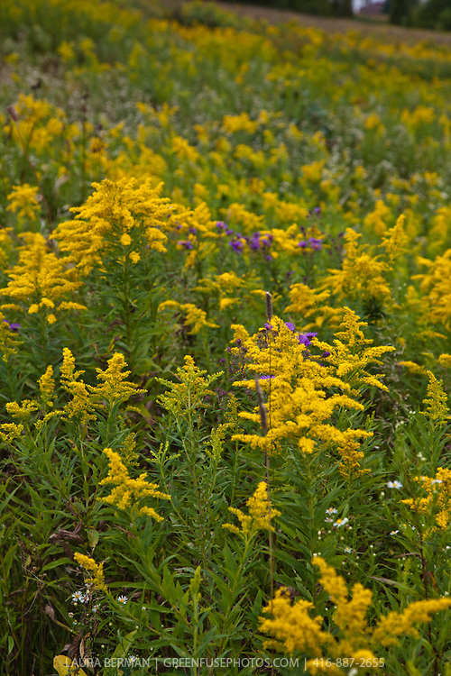 A wildflower meadow in autumn filled with bright yellow goldenrod, purple asters and Queen Anne's Lace.