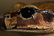 northern barred frog, eye detail, kuranda