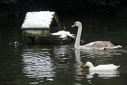 © Licensed to London News Pictures. 19/01/2013, London, UK.  A swan and a duck swim pass a snow covered hut at Waddon Pond in Croydon, South London, Saturday, Jan. 19, 2013. More cold weather and snow are expected over the coming days. Photo credit : Sang Tan/LNP