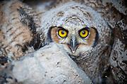 Owl, Crank Cave, Idaho