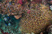 A Diver Photographing a School of Sweepers<br /> <br /> Shot in Indonesia