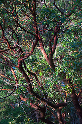 Madrona (Arbutus menziesii) Tree, Stuart Island, Washington, US