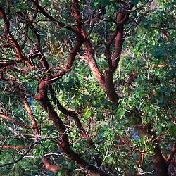 Madrona (Arbutus menziesii) Tree, Stuart Island, Washington, US