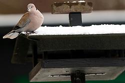 23-01-2019 NED: Birdwatch around your garden, Maarssen<br /> Turkse tortel (Streptopelia decaocto)