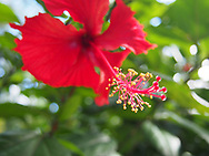 Hibiscus growing in Vieques, Puerto Rico.