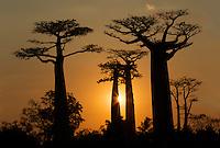 Grandidier's baobab trees (Adansonia grandidieri) silhouetted at sunset, Western Madagascar