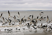 A flock of Skimmers in flight along the surf on Jekyll Island Beach.