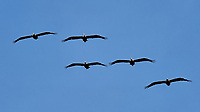 Five Pelicans in Formation Flight. Image taken with a Nikon D3 camera and 80-400 mm VR lens.