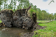 Uprooted fallen tree by Marais Poitrevin canal and marshland region a Grand Site de France
