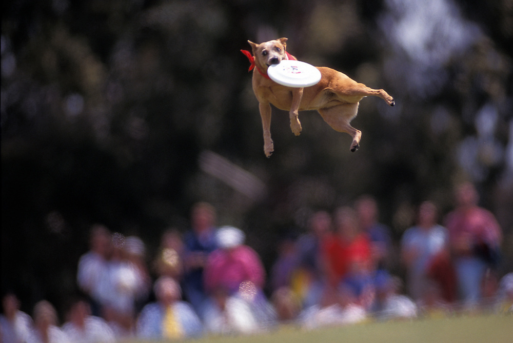 Air Abby, a Queensland Heeler, stretches out to catch the Frisbee during the Dog Chow Incredible Dog Challenge competition in San Diego, California.