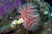 Sabellidae (feather duster worms) are a family of sedentary marine polychaete tube worms where the head is mostly concealed by feathery branchiae