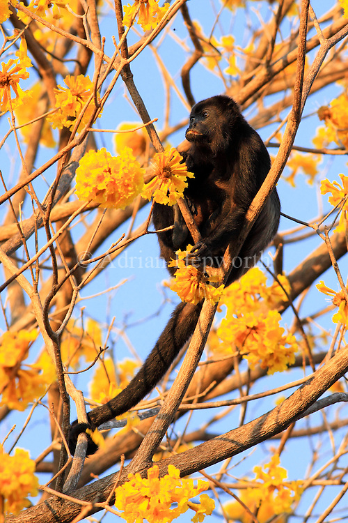 Mantled Howler Monkey (Alouatta palliata) amongst Yellow Cortez (Tabebuia ochracea) flowers in tropical dry forest near Conchal Beach, Guanacaste, Costa Rica. <br />