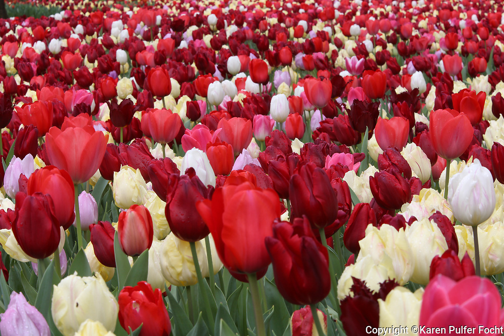 250,000 bulbs were planted at Dixon Gallery and Gardens to bloom this spring.