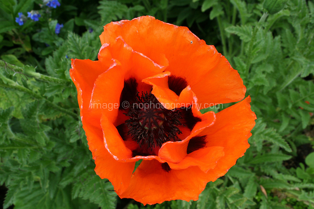 Red poppy style flower