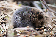 beaver, Castor fiber, Castor européen