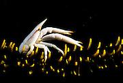 Elegant Squat Lobster (Allogalathea Elegans) on Crinoid, Lembeh Strait, Sulawesi, Indonesia, Pacific Ocean