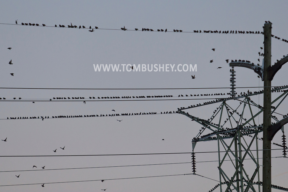 Goshen, New York - Birds gather on electric transmission towers and power lines at twilight on Nov. 28, 2014. ©Tom Bushey / The Image Works
