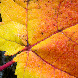 An autumn red maple leaf in Dunstable Massachusetts USA
