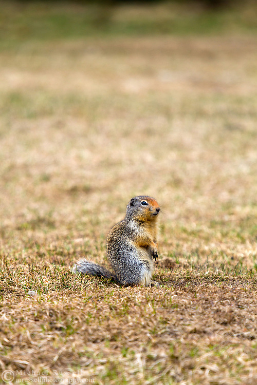 A Columbian Ground Squirrel (Urocitellus columbianus) stays vigilant in Manning Provincial Park in British Columbia, Canada