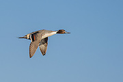 Northern Pintail flying over San Elijo Lagoon in San Diego, California