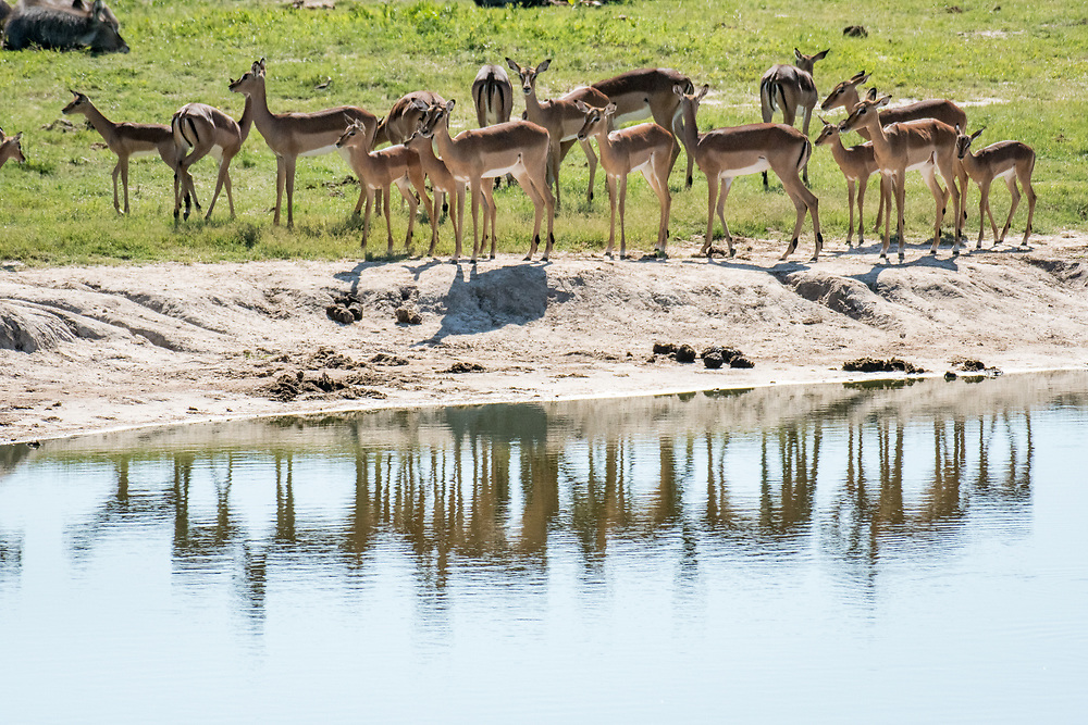 A group of impala congregate near a water source in Hwange National Park. Hwange, Zimbabwe