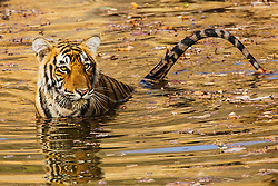 An endangered Bengal tiger (Panthera tigris tigris)  sitting in a water hole and splashing with its tail, ,Ranthambhore National Park, Rajasthan, India,