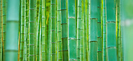 Trevor Hagan - Bamboo forest in Japan. <br /> August 20, 2008