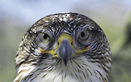 Ferruginous  Hawk ( Buteo regalis ). Saguaro National Park&amp;#xA;Sonoran Uplands Desert Scrub Habitat, Arizona, United States&amp;#xA;&copy; Kike Calvo - V&amp;W&amp;#xA;( raptor, bird of prey, nocturnal, eye contact, animal, vision, horned<br />