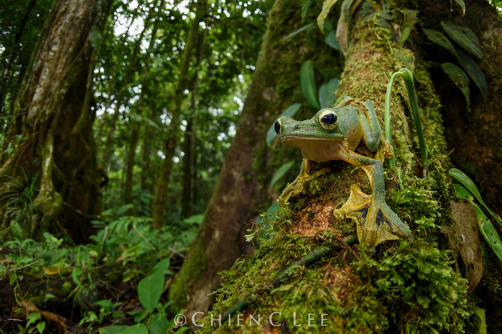 Wallace's Flying Frog (Rhacophorus nigropalmatus) is one of the largest of all tree frogs in Borneo. It is capable of gliding down from the forest canopy by using its enlarged webbed feet as parachutes.