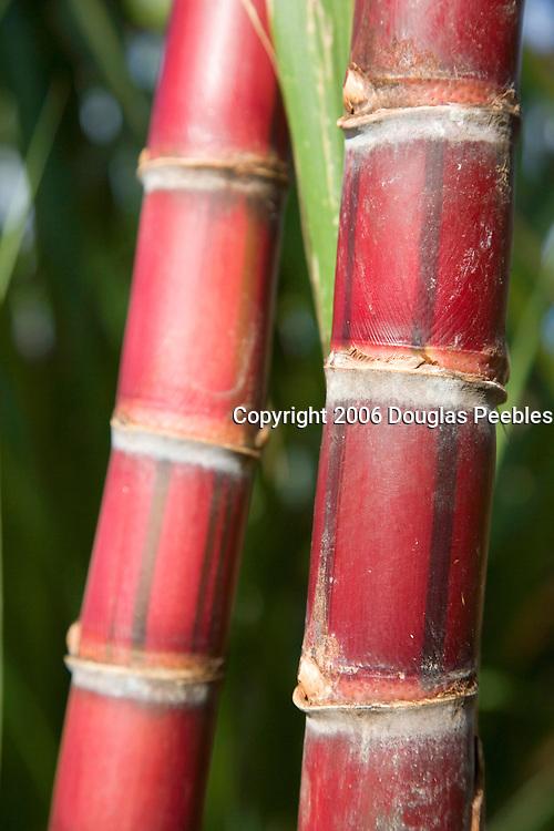 Sugar Cane, Hawaii