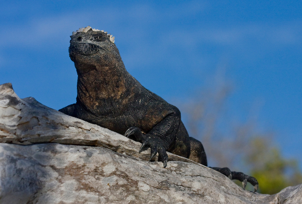 Galápagos Marine Iguana (Amblyrhynchus cristatus)