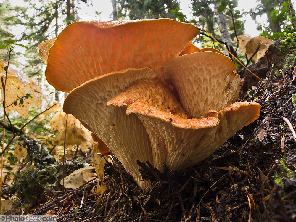 Chanterelle Mushrooms  grow shaped liked trumpets in Wenatchee National Forest, Washington, USA.