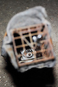 An endangered Black-footed ferret peers out from a live-trap during U.S. Forest Service population survey in Buffalo Gap National Grasslands near Wall, South Dakota, USA.