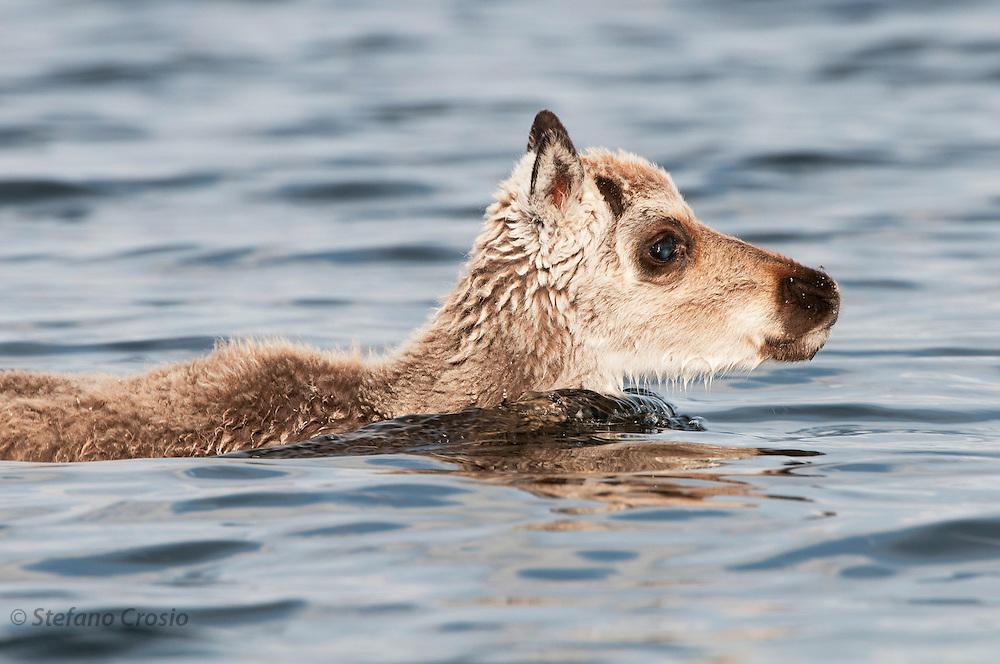 CANADA, Nunavut.Barren-ground caribou (Rangifer tarandus groenlandicus) calf swimming across a river