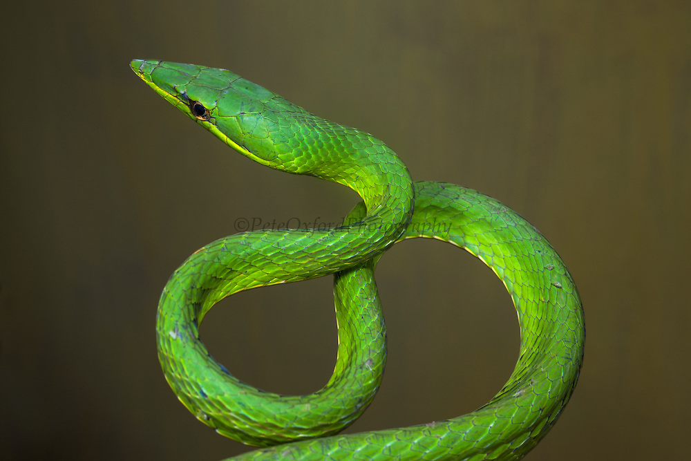Green vine snake (Oxybelis brevirostris)<br /> ECUADOR. South America<br /> Habitat & Range: rainforest of Central and South America. From Honduras, Nicaragua, Costa Rica & Panama to Colombia and Ecuador